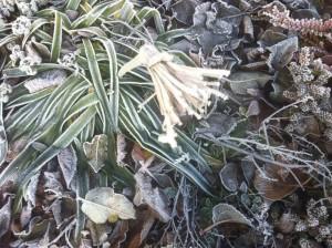 die Lilie im Winter