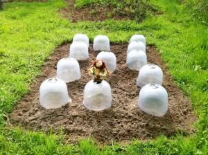den Tobinambur Häubchen aufgesetzt