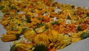 Ringelblumen, ausgelegt zum trocknen