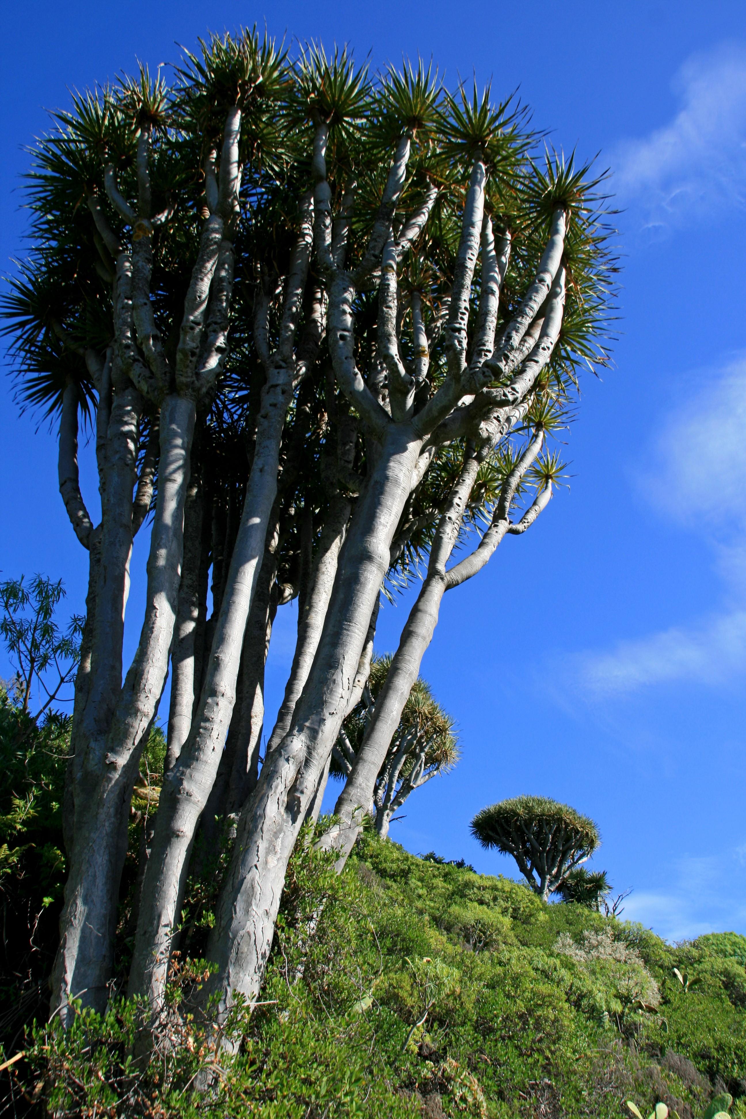 Besuch bei den Drachenbäumen im Paradiesgarten Eden