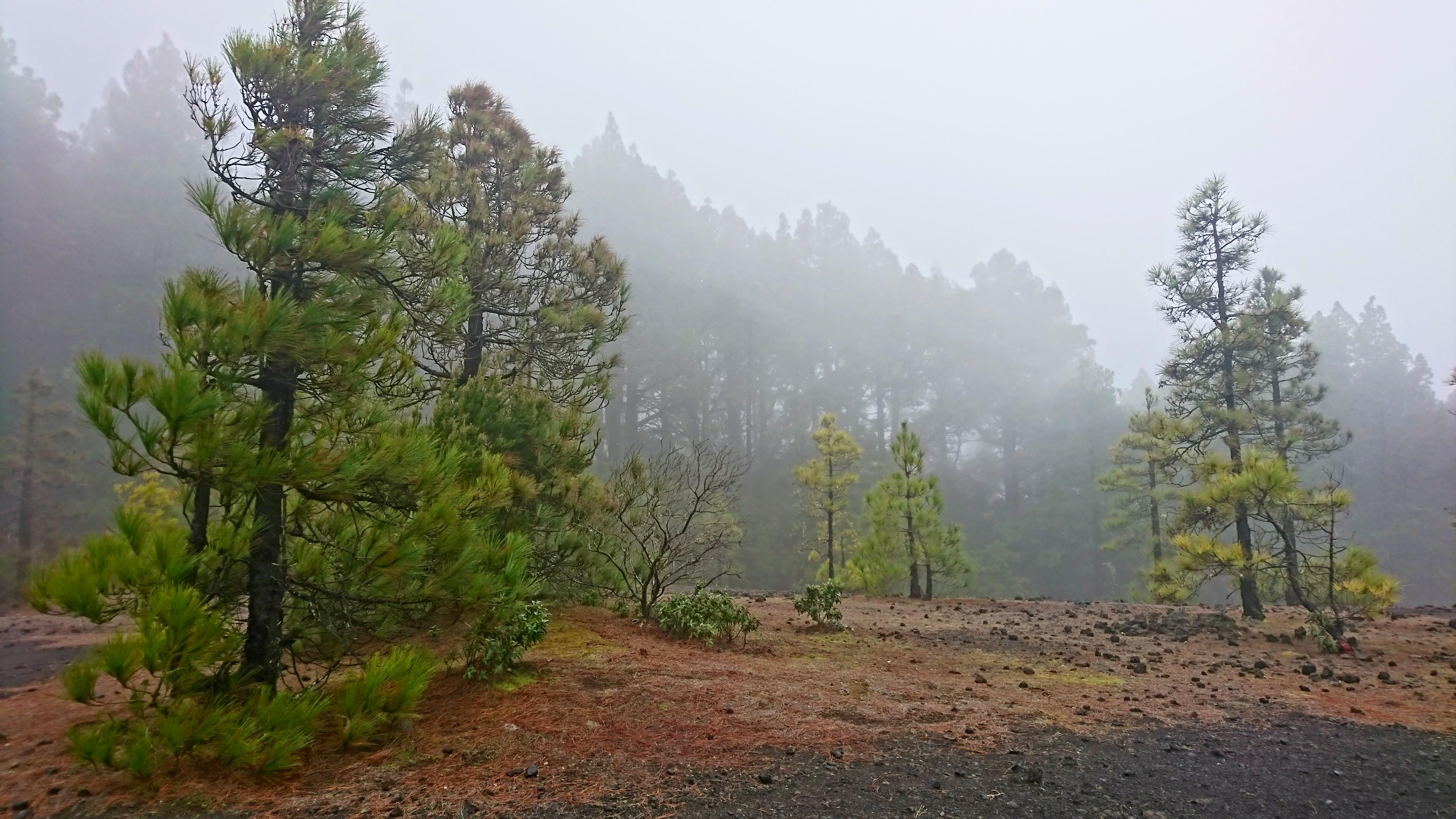 Die kanarische Kiefer und ihre Verbindung mit der vulkanischen Energie